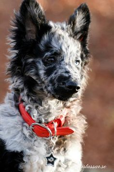 Dog Breed- Mudi <<way cute! check them out! Cute Dog Mixes, Cute Puppies, Dogs And Puppies, Dog Whisperer, Purebred Dogs, Smiling Dogs, Wild Dogs, Cute Animal Pictures, Family Dogs