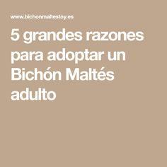 5 grandes razones para adoptar un Bichón Maltés adulto