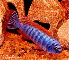 Aquarium Fish, Tropical Fish, and Goldfish for Sale Online Aquarium Fish For Sale, Tropical Aquarium, Tropical Fish, Cichlid Aquarium, Cichlid Fish, Malawi Cichlids, African Cichlids, Goldfish For Sale, Salt Water Fish