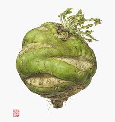 Giant kohlrabi (German turnip) - Brassica oleracea   11 1/2 x 9 1/2    watercolor on paper