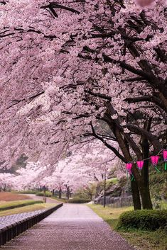 "lifeisverybeautiful: ""Cherry Blossom, Nagasaki, Japan Sakura Arch by WindyLife Cherry Blossom "" Cherry Blossom Tree, Blossom Trees, Japanese Cherry Blossoms, Cherry Tree, Japan Sakura, Tree Photography, Flowering Trees, Nagasaki, Japan Travel"