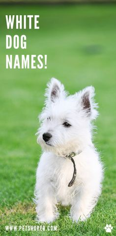 Do you have a white puppy? Do you need a great name for your fluffy white dog? #WhiteDogNames #CuteWhiteDogNames #BestWhiteDogNames #WhiteDogNamesFemale #WhiteDogNamesMale #WhiteDogNamesGirl #WhiteDogNamesBoy