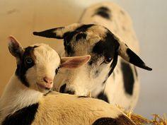mama & baby goat