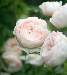 English Roses - we have some David Austin roses - they are beautiful and have wonderful fragrance. Love Rose, Pretty Flowers, Beautiful Roses, Beautiful Gardens, Pink Roses, Pink Flowers, Heritage Rose, David Austin Roses, Tulips