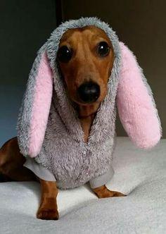 Doxie Bunny