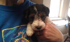This is my 5 week old Wire Fox Terrier Puppy. So energetic yet very sweet.