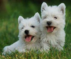 El West Highland White Terrier, también conocido por Westie o West, se caracteriza por su cabeza redonda y peluda que le da un aire de muñeco de peluche.    A principios del siglo XIX, se hicieron evidentes las diferencias entre los Terriers de Highlands y se empezó a separar lo que más adelante serían el Scottish Terrier, el Cairn Terrier, el Skye Terrier, el Dandie Dinmont Terrier y el West Highland White Terrier.