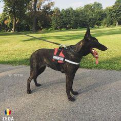 ZEDA FROM ROMANIA Dutch Shepherd Dog, Romania, Horses, Dogs, Animals, Animales, Animaux, Doggies, Animais