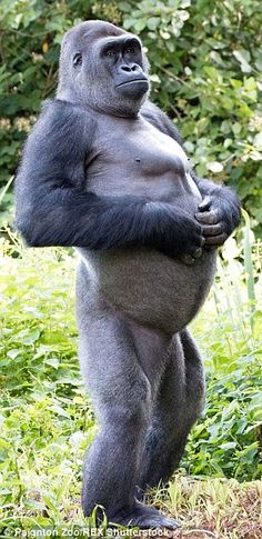 'Hmm, maybe I overdid the Bananas,,,' - Human-like: Kivu, a 26-stone Western Lowland Gorilla, struck the unusual pose at Paignton Zoo, in Devon