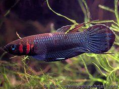 Betta foerschi : très joli petit poisson combattant mais peu fréquent.