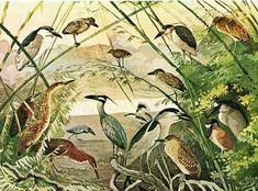 """Olímpia Reis Resque: Uma vida animal abundante """"...Também avistei um magnífico socó-boi, de pé na água, com seu longo pescoço enfiado entre os ombros,..."""". Texto de James W. Wells [1841-?]. Ilustração de Ernst Lohse (1873-1930). No Blog olimpiareisresque.blogspot.com. Visite!"""