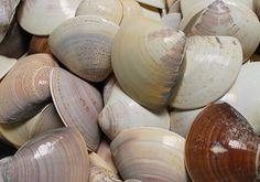 Quahog Clam Shells 10 pcs.  Mercenaria Mercenaria