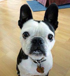 Hi, I'm a French Bulldog.