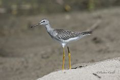 #ChickPicotheDay! (Day 3,228) First time I've seen one of these pretty dainty things. They're call #LesserYellowlegs but I think they should call them #MoreYellowLegs....awwww that joke tanked. Never mind. Aren't they pretty? THIS IS MY FINAL POST ON PINTEREST FOR #CHICKPICOTHEDAY FIND ME ON INSTAGRAM and FACEBOOK! THANKS! :) #Lifer #FirstTimeSeen #BeachBird #LongBeak #PointyBeak #TurkeyPoint #LakeErie #HeatherCardlePhotographer Image Shows, First Time, Bird, Facebook, Day, Pretty, Instagram, Birds
