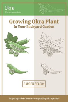Growing Okra in Your Backyard Garden | Okra or ladies fingers are good addition to your vegetable garden, and growing them is really easy and appropriate for the warming weather. Big Plants, Garden Plants, Indoor Plants, Growing Okra, Okra Plant, Easy Vegetables To Grow, Hydrangea Care, Edible Garden, Vegetable Garden