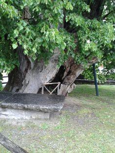 Albero più vecchio d 'Italia .Anno 1200  Tiglio