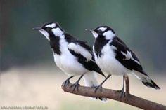 Magpie Lark Australian Birds, Magpie, Brisbane, Animals, Animales, Animaux, Animais, Eurasian Magpie, Animal