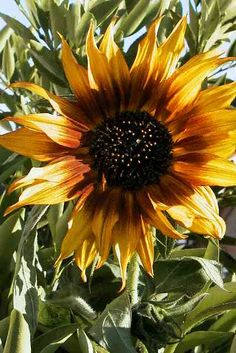 """Die Blütenköpfe der #Sonnenblume bestehen aus vielen kleinen, unscheinbaren Blüten in der Mitte, die von den meist gelben Blättern umgeben sind. Düngung:2x pro Woche mit einem stark stickstoffbetonten Dünger (d.g. Grünpflanzendünger!) Vermehrung:Durch Samen. Auch Sonnenblumenkerne im Vogelfutter keimen oft zuverlässig (obwohl meistens als """"nicht keimfähig"""" deklariert). Die Aussaat erfolgt im zeitigen Frühjahr an Ort & Stelle. Allerhöchstens 2 Pflanzen bei einem Topfdurchmesser von ca. 35…"""