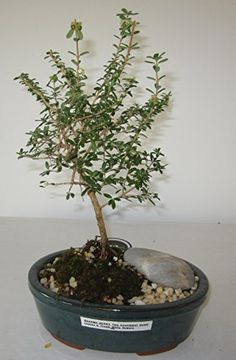 Bonsai Gardens Highest Quality Medium Bahama Berry Bonsai Tree -- Read more  at the image link.