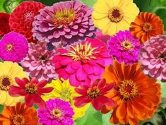 Shop for Zinnia Seeds and Mixes by the Ounce or by the Pound.Com offers Hundreds of Seed Varieties, Including the Finest and Freshest Zinnia Seed Mixes Anywhere. Poppy Flower Seeds, Zinnia Elegans, Seed Packaging, Seeds For Sale, Wildflower Seeds, Annual Flowers, Dahlia Flower, Planting Flowers, Flower Gardening