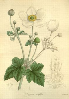 Anemone vitifolia (Vine-leaved anemone). Plate from 'The Botanist' by B. Maund and J. S. Henlow. Published 1836.Missouri Botanical Gardenarchive.org