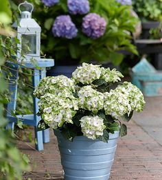 Not all hydrangeas have pink or blue flowers. 'Hokomano' is truly different, producing bicolor, celery green-and-white flower heads with purple centers! http://www.bhg.com/gardening/gardening-trends/new-trees-shrubs-and-vines-for-2015/?socsrc=bhgpin050915hydrangeahokomano&page=7