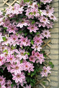 Clematis 'Nelly Moser', dad's favourite