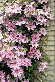 Clematis 'Nelly Moser' - Garten - Kletterpflanzen