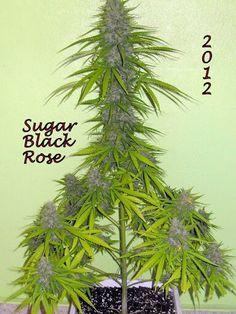 #w33daddict #Cannabis #Marijuana #Pot #Weed #Herb