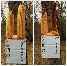 More evidence that animals know to avoid GMO's better than humans...I like this lol