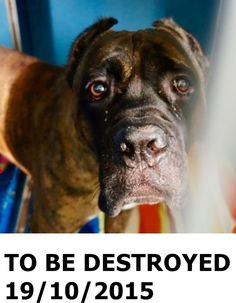 GONE 10-19-2015  --- Manhattan Center   (RESCUE ONLY) My name is TOBASCO. My Animal ID # is A1054809. I am a male br brindle and black cane corso mix. The shelter thinks I am about 4 YEARS old.  I came in the shelter as a STRAY on 10/14/2015 from NY 10465, owner surrender reason stated was STRAY. http://nycdogs.urgentpodr.org/tobasco-a1054809/