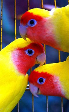 Fischer's Love Birds. The African Love Birds may be the tiniest birds in the parrot family, but don't be fooled--they can be fierce ~ Pretty Birds, Love Birds, Beautiful Birds, Animals Beautiful, Cute Animals, Beautiful Voice, Wild Animals, Exotic Birds, Colorful Birds