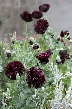 Papaver 'Black Peony' is another favourite, especially with light flowers as white forgetmenots (Myosotis) or baby's breath (Gypsophila paniculata).   by anniesannuals, via Flickr