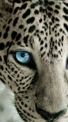Snow Leopard Blue Eye - Best htc one wallpapersHTC wallpapers