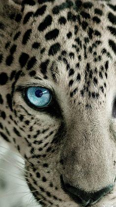 Snow Leopard Blue Eye - Best htc one wallpapersHTC wallpapers
