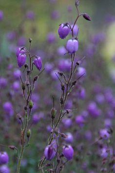 Dainty Purple by Loopylou2u, via Flickr.  Native plant Mount Dandenong Victoria Australia