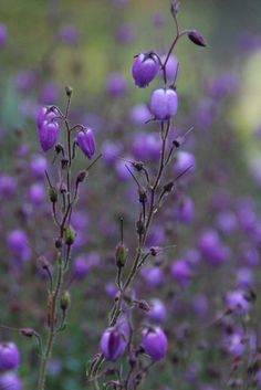 Dainty Purple by Loopylou2u, via Flickr.  Native plant Mount Dandenong Victoria Australia