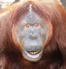 The GFAS Accredited Center for Great Apes is a 100-acre sanctuary in which more than 40 orangutans and chimpanzees have room to live in safety and in the company of their own species. It is the only sanctuary specifically dedicated to orangutans in the United States.