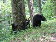 Bears in Cades Cove, Tennessee