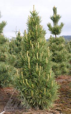 Crismas Tree, Spruce Pine, Evergreen Shrubs, Garden Tools, Garden Ideas, Plant Species, Winter Garden, Pine Cones, Pathways