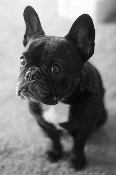 """""""Why???"""" Adamant French Bulldog Puppy"""