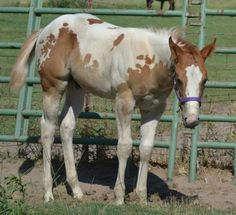 """My 2013 colt """"Ty's Dual Image"""" registered APHA. Looking for a barn name. I absolutely love this guy! Sire(WatchTysLittleJoe) dam(Classyfancygoodfriday)"""
