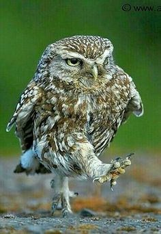 Step aside! Got some important owl shit to do!