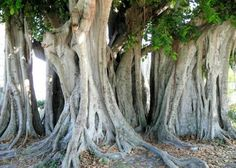 Old multi-trunked Banyan near Gilchrist Park in Punta Gorda, Florida.