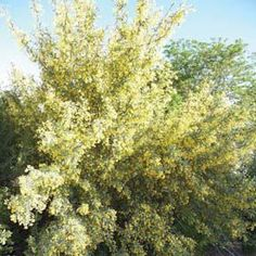 Desert Holly or Redberry Mahonia is a holly-like evergreen shrub, 12 ft. tall and wide. Very cold hardy. A host of fragrant yellow flowers, then stunning coral Evergreen Garden, Evergreen Shrubs, Trees And Shrubs, Full Sun Shrubs, Shrubs For Borders, Dwarf Shrubs, Landscape Elements, Garden Shrubs, Plant Nursery