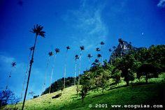 Salento, Colombia.  Palmas de cera.