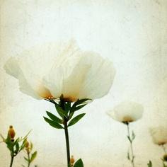 Garden by the sea - Fine Art Photography blog by Lupen Grainne: California White Poppy