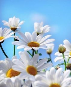 Daisies and blue sky Daisy Wallpaper, Flower Background Wallpaper, Sunflower Wallpaper, Cute Wallpaper Backgrounds, Pretty Wallpapers, Flower Backgrounds, Nature Wallpaper, Happy Flowers, Flowers Nature