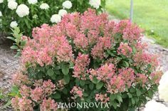 Monrovia's Little Quick Fire™ Hardy Hydrangea details and information. Learn more about Monrovia plants and best practices for best possible plant performance.