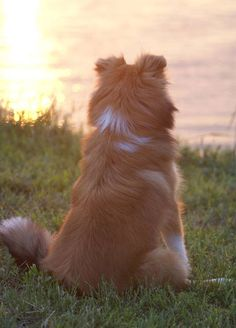 Soul Shelties - Sheltie Nation.... Exact coloring and color placement of my dog! Although her ears stand straight up.